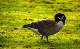 Одичалые гусыни на луге обгрызая трава, зеленая сочная трава Стоковые Изображения
