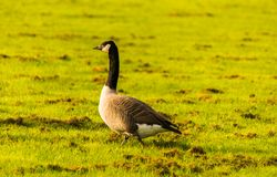 Одичалые гусыни на луге обгрызая трава, зеленая сочная трава Стоковая Фотография RF