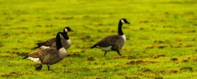 Одичалые гусыни на луге обгрызая трава, зеленая сочная трава Стоковое Изображение RF
