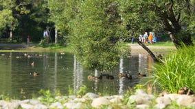 Одичалые гусыни плавая в реке на солнечный день в тихом парке Летание ducks на пруде в парке Стоковые Фото
