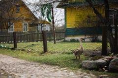 Одичалые гусыни Greylag в деревне Гусыня Farmyard отечественная Стоковое фото RF