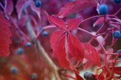 Одичалые, декоративные виноградины Стоковое Фото