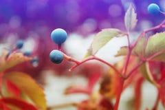 Одичалые, декоративные виноградины Стоковое Изображение RF