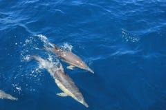 Одичалые дельфины играя в океане и быстро проходя - вверх стоковые изображения rf