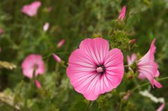 Одичалые ежегодные цветки просвирника - trimestris Lavatera Стоковые Изображения RF