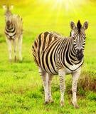 Одичалые зебры африканского материка Стоковые Изображения