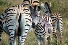 одичалые зебры стоковое фото