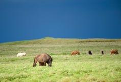 Одичалые исландские лошади в свежем зеленом выгоне в Исландии Стоковое фото RF