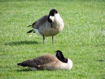 Одичалые канадские гусыни прихорашиваясь на луге обгрызая трава, зеленая сочная трава, в парке Индианаполиса, США Стоковая Фотография