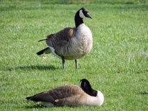 Одичалые канадские гусыни прихорашиваясь на луге обгрызая трава, зеленая сочная трава, в парке Индианаполиса, США Стоковое Изображение