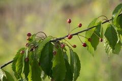 Одичалые кислые вишни Стоковое Изображение RF