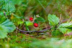 Одичалые клубники растя в зеленой траве стоковые фото