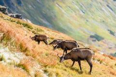 Одичалые козы в горах Стоковая Фотография