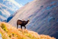 Одичалые козы в горах Стоковое Изображение