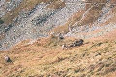 Одичалые козы в горах Стоковое Изображение RF