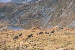 Одичалые козы в горах Стоковое фото RF