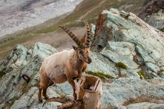 Одичалые козы в горе Стоковое фото RF