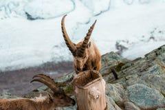 Одичалые козы в горе Стоковые Изображения