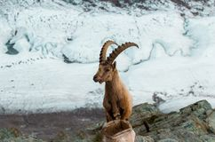 Одичалые козы в горе Стоковое Изображение RF