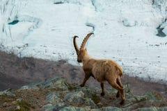 Одичалые козы в горе Стоковые Фото