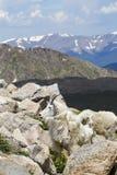 Одичалые козы горы гор Колорадо скалистых Стоковое Изображение