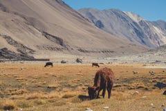 Одичалые коровы есть травы в поле с горами и предпосылке голубого неба в Ladakh Стоковая Фотография RF