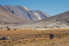 Одичалые коровы есть травы в поле с горами и предпосылке голубого неба в Ladakh Стоковое фото RF
