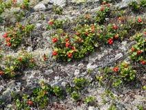 Одичалые короткие кустарники и камни lingonberry Стоковые Фотографии RF