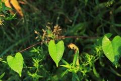 Одичалые листья и лоза виноградины формируют естественную гирлянду Стоковое Фото