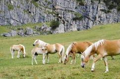 Одичалые лошади каштана, доломиты, Италия, Стоковые Изображения