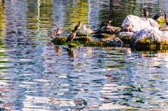 Одичалые морские птицы на утесах Стоковое Фото