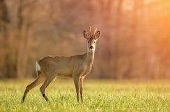 Одичалые олени косуль в свете раннего утра стоковое изображение rf