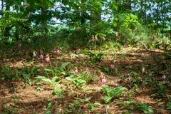 Одичалые орхидеи тапочки ` s дамы в цветени стоковые фото
