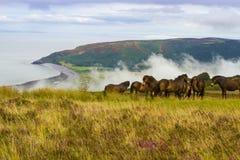 Одичалые пониы Стоковые Фотографии RF