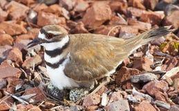 Одичалые птица и яичка стоковые изображения