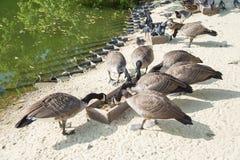 Одичалые птицы в парке города Стоковые Изображения RF