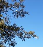 Одичалые птицы какаду в эвкалипте с некоторым висеть вверх ногами как летучие мыши стоковая фотография rf