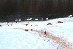 Одичалые птицы на берег в заморозках Стоковое Изображение