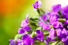 Одичалые пурпуровые цветки стоковое фото