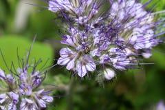 Одичалые пчелы все виды пчелы Стоковые Изображения