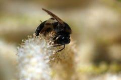 Одичалые пчелы все виды пчелы Стоковые Изображения RF