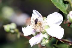 Одичалые пчелы все виды пчелы Стоковое фото RF