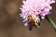 Одичалые пчелы все виды пчелы Стоковое Фото