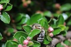 Одичалые пчелы все виды пчелы superfamily Стоковая Фотография