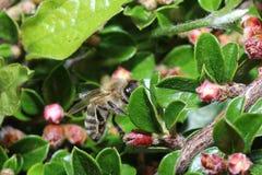 Одичалые пчелы все виды пчелы superfamily Стоковые Изображения