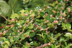 Одичалые пчелы все виды пчелы superfamily Стоковое Фото