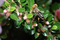 Одичалые пчелы все виды пчелы superfamily Стоковая Фотография RF