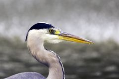 Одичалые серые цапля/Ardea cinerea на охоте в реке Темзе Стоковое Изображение RF