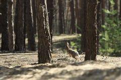 Одичалые скачки зайцев стоковое фото rf