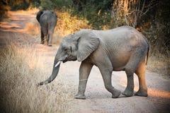 Одичалые слоны Стоковые Фото